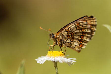 background pattern: Macro photo of a heath fritillary (Melitaea athalia) butterfly.