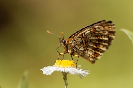 Macro photo of a heath fritillary (Melitaea athalia) butterfly.