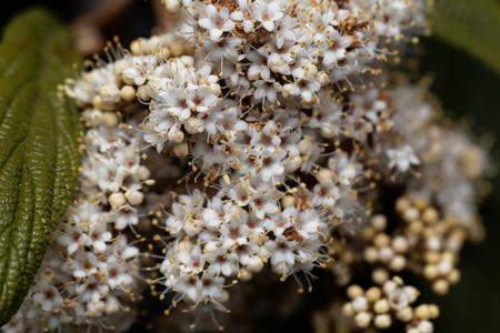 herbaceous: Flowers of a leatherleaf viburnum, Viburnum rhytidophyllum