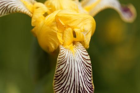 Flower of a Hungarian Iris (Iris variegata)