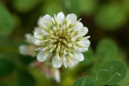 Flower of a White Clower (Trifolium repens) Stock Photo