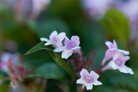 herbaceous: Flowers of a beauty bush, Kolkwitzia amabilis.