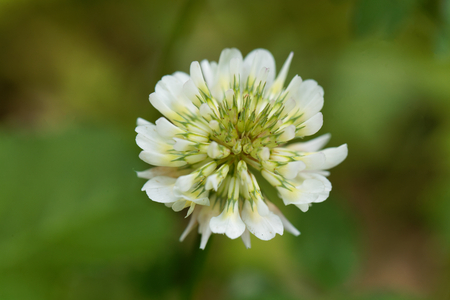 clovers: Flower of a White Clower (Trifolium repens) Stock Photo