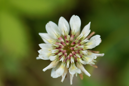 trifolium: Flower of a White Clower (Trifolium repens) Stock Photo