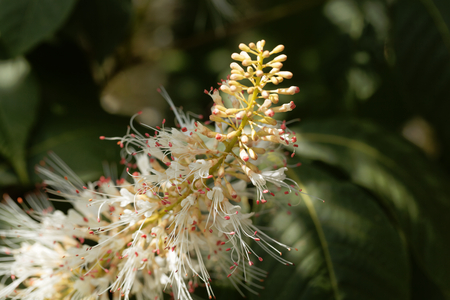 Flowers of a bottlebrush buckeye, Aesculus parviflora. Stock Photo