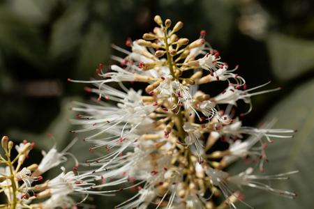 Flowers of a bottlebrush buckeye, Aesculus parviflora. Stock Photo