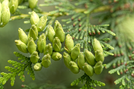 thuja occidentalis: Female cones of a northern white cedar (Thuja occidentalis)