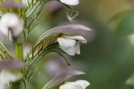Flower of a bear breeches, Acanthus mollis. Stock Photo