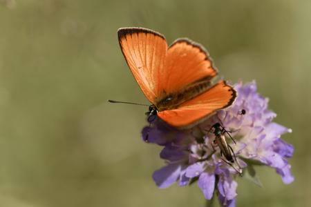 A scarce copper butterfly, Lycaena virgaureae, on a flower.