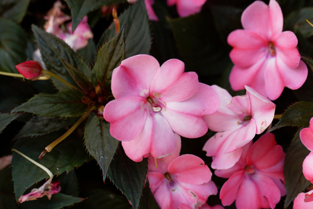 Macro photo of the garden flower Impatiens walleriana. Stock Photo