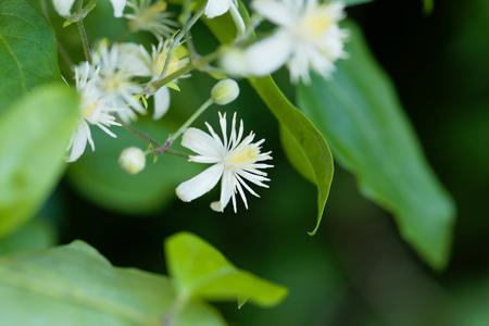Flowers of an old man beard, Clematis vitalba. Stock Photo