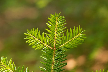 Branch with needles of a European silver fir, Abies alba.
