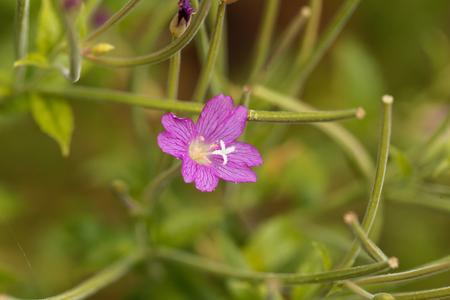 plants species: Fiore di un grande salice, Epilobium hirsutum. Archivio Fotografico