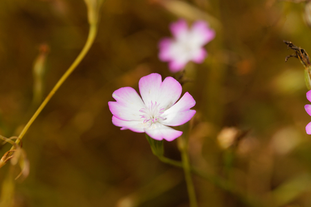 Flower of a Rose of Heaven, Silene coeli rosa.