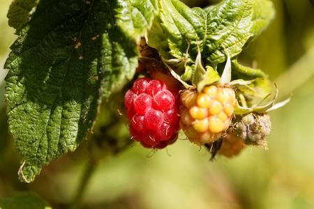 Berry of a wild red raspberry, Rubus idaeus. Stock Photo