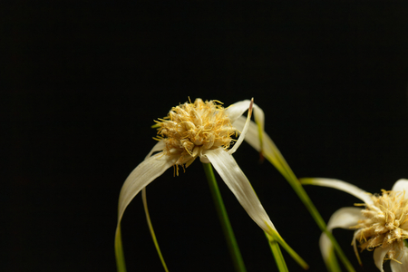 Head of a starrush whitetop, Rhynchospora colorata, with a black background. Stock Photo