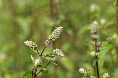 Flowers of a peppermint plant, Mentha x piperita, in a field. Stock Photo