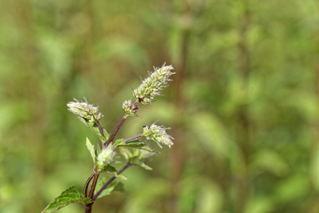 field mint: Flowers of a peppermint plant, Mentha x piperita, in a field. Stock Photo