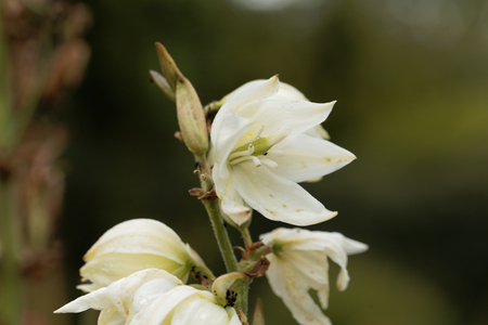 Flowers of a common yucca, Yucca filamentosa.