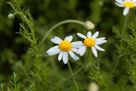 Flower of a Roman chamomile, Chamaemelum nobile.