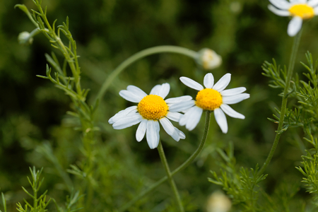 Flower of a Roman chamomile, Chamaemelum nobile.