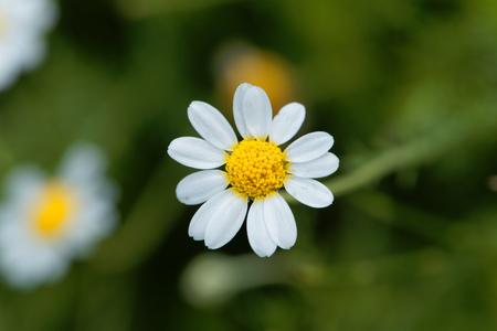 로마 카모마일, Chamaemelum nobile의 꽃입니다.