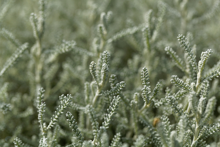 Leaves of a cotton lavender (Santolina chamaecyparissus)