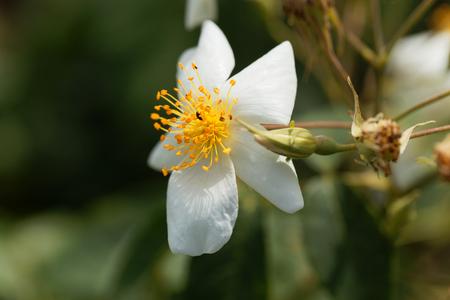 Flower of a musk rose (Rosa moschata)
