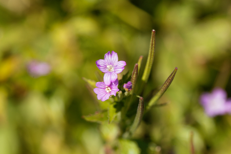 Flowers of the willowherb (Epilobium alpestre), a wild plant in the Alps in Europe.