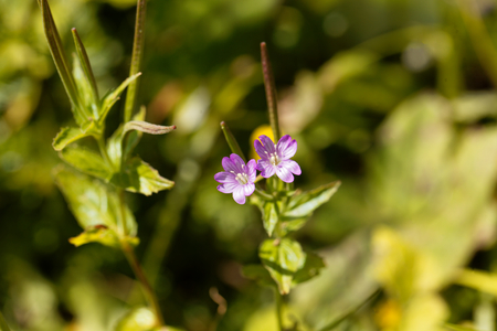 plants species: Flowers of the willowherb (Epilobium alpestre), a wild plant in the Alps in Europe.