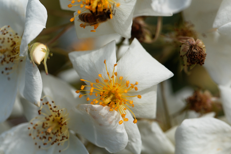 Flower of a musk rose (Rosa moschata)