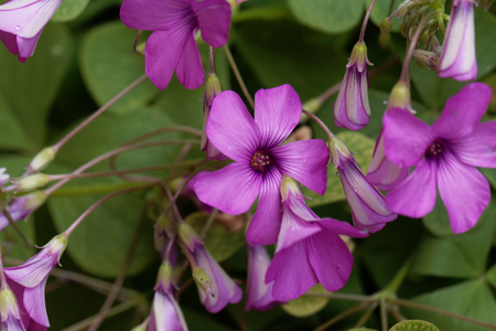 Flowers of a pink sorrel (Oxalis articulata) Stock Photo