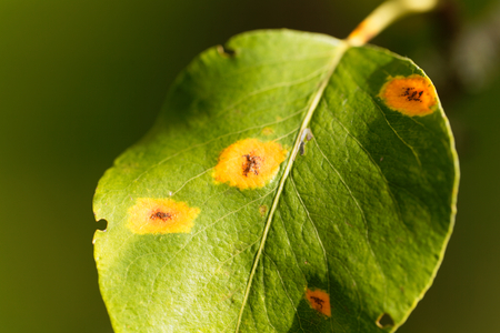 Pear rust disease, Gymnosporangium sabinae, on a leaf.