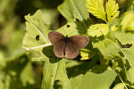 hyperantus: A ringlet butterfly (Aphantopus hyperantus) on a bush.