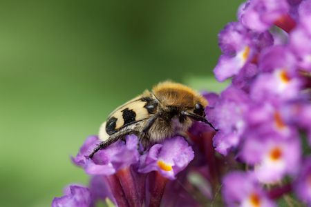 A bee beetle (Trichius fasciatus) on flowers of a butterfly bush.