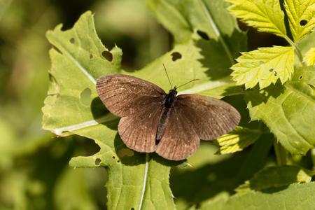 A ringlet butterfly (Aphantopus hyperantus) on a bush.