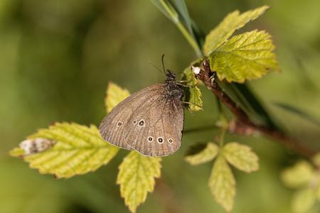 A ringlet butterfly (Aphantopus hyperantus) on a brunch.