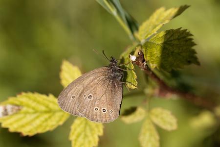 hyperantus: A ringlet butterfly (Aphantopus hyperantus) on a brunch.