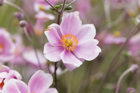 A flower of a Chinese anemone (Anemone hupehensis) Stock Photo