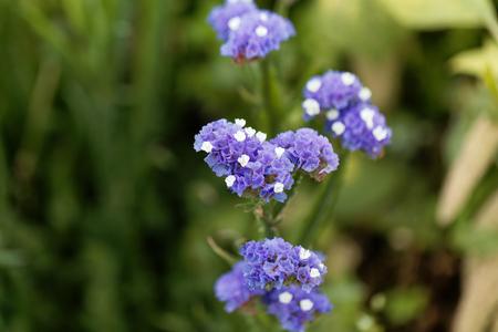 Flowers of a sea lavender (Limonium sinuatum) Banco de Imagens