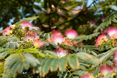 Flowers of a persian silk tree albizia julibrissin stock photo flowers of a persian silk tree albizia julibrissin stock photo 85859230 mightylinksfo
