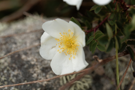 Flower of a burnet rose (Rosa spinosissima)