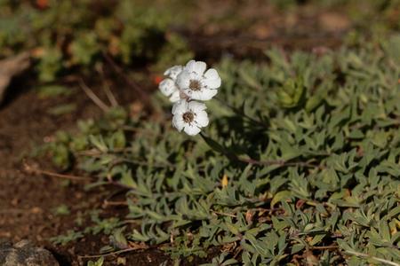 Flower of the sea campion (Silene uniflora), a flower of the western European coast.
