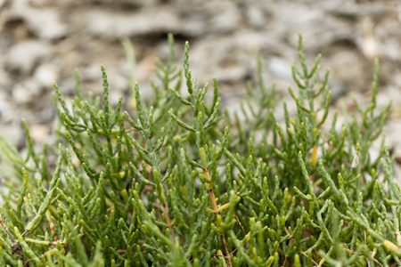 Plant of common glasswort (Salicornia europaea) on coastal marsh land. Stock Photo