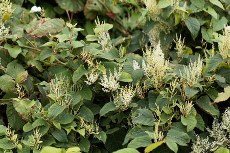 Aziatische knotweed (Fallopia japonica) een gevaarlijke invasieve soort in veel landen. Stockfoto