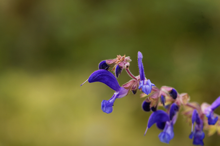 Flowers of Salvia transsylvanica, a wild salvia species from eastern Europe.