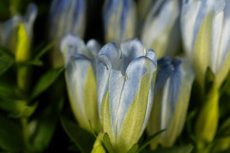Flowers of Gentiana hybridum, a garden gentian.