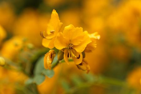 Fleurs d'un buisson renoncule (Senna corymbosa) Banque d'images - 86751558