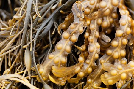 Bladder wrack (Fucus vesiculosus), a brown algae from the Atlantic Ocean.