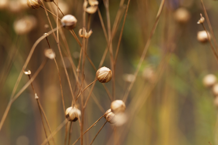 Dry seed capsules of common flax (Linum usitatissimum) in a field. Stock Photo